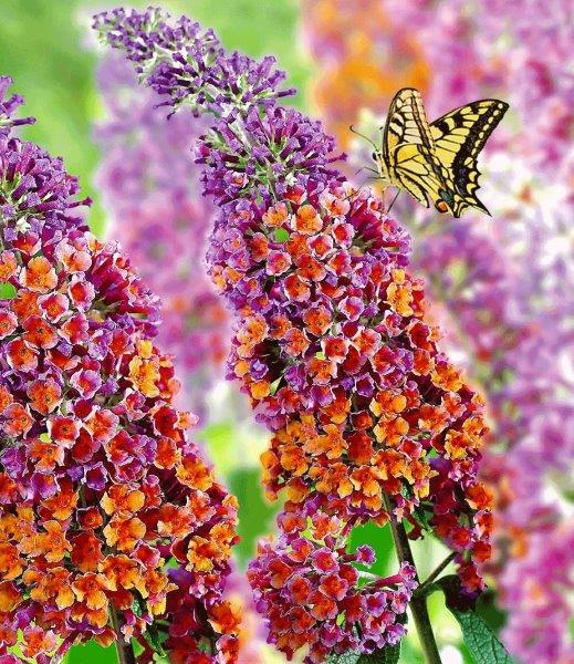 BUDDLEJA dav. 'Flower Power'