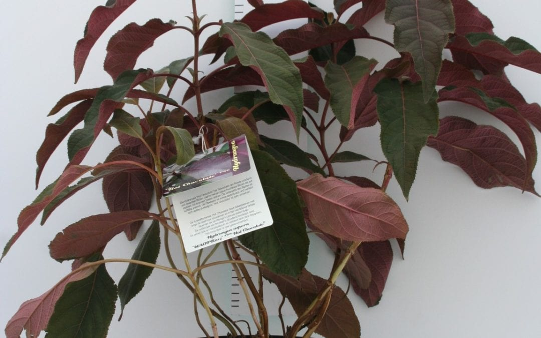 Hydrangea asp. 'Hot Chocolate' ®