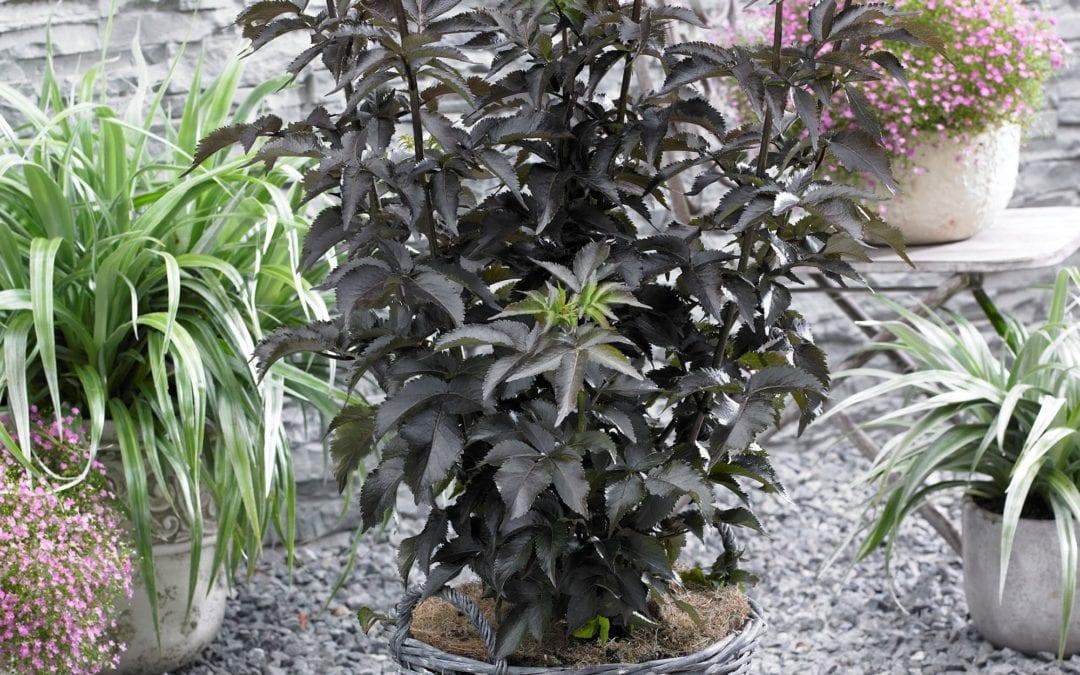 Sambucus nigra 'Black Tower' ®