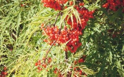 Sambucus racemosa 'Welsh Gold' ®