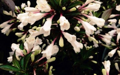Weigela 'Black and White' ®