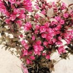 Weigela florida Minor Black