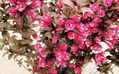 Weigela florida 'Minor Black' ®