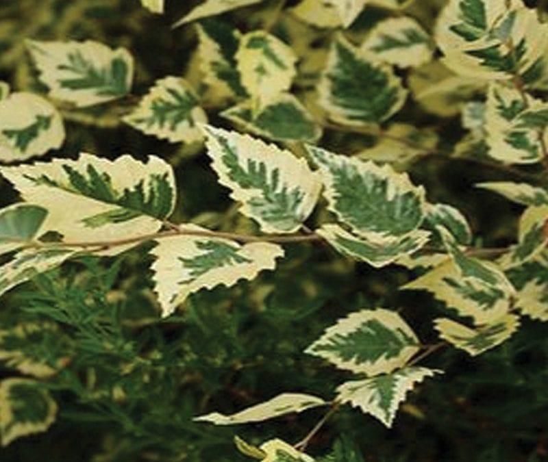 Betula nigra 'Shillow Splash'