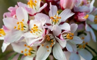 Choisya ternata 'Apple Blossom' ®