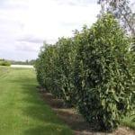 Prunus laur. 'Mariblon' Genolia sol