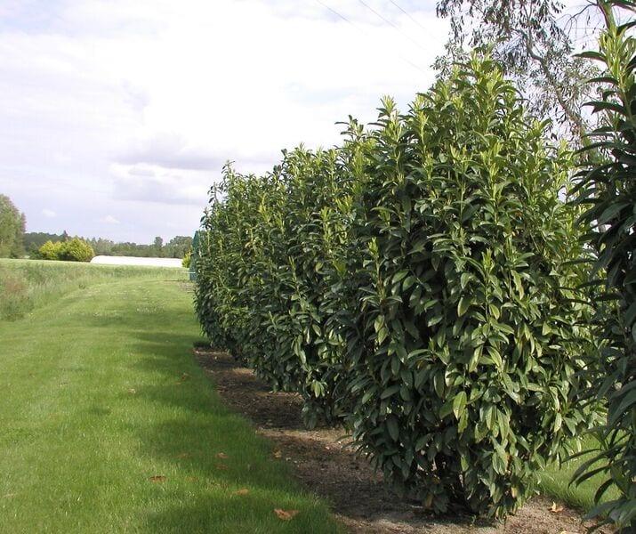 Prunus laurocerasus 'Genolia' Mariblon ®