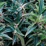 Sarcococca humilis Winter Gem close up