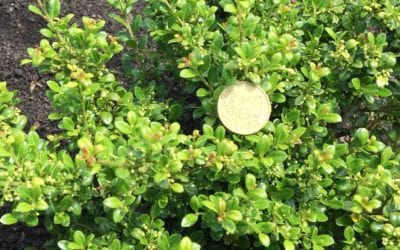 Ilex crenata 'Green Gloss'