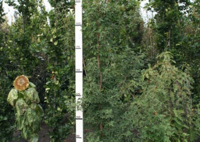 Acer griseum 275-300