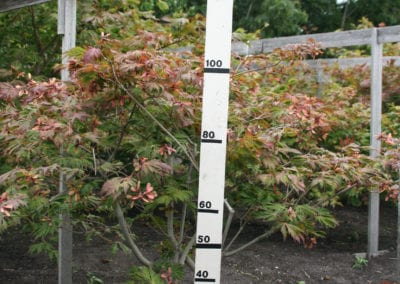 Acer japonicum 'Aconitifolium' 100-125 sol