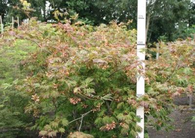 Acer japonicum 'Aconitifolium' 150-175 Sol breed