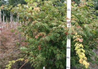 Acer japonicum 'Aconitifolium' 175-200 Sol Breed