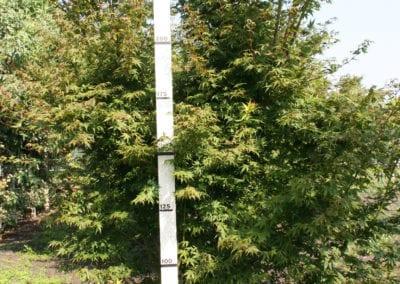 Acer palmatum 275-300Sol