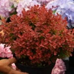 Berberis thunbergii 'Ruby Star'®