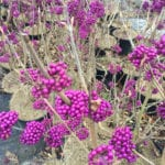 Callicarpa Autumn Glory