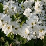 Exochorda racemosa 'Snow Mountain'