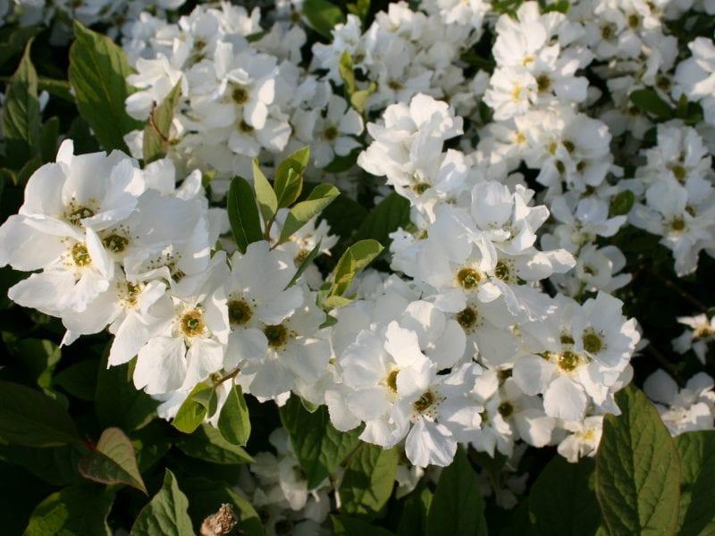 Exochorda racemosa 'Snow Mountain'