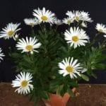 Nipponanthumum nipponicum
