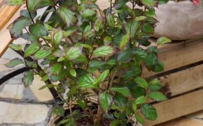 Parrotia persica 'Persian Spire'®