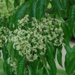 Tetradium daniellii flower