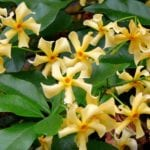 Trachelospermum jasminoides Star of Tuscan of Tuscany close up