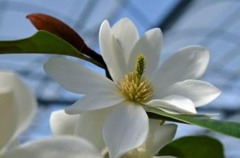 Magnolia laevifolia 'Gail's Favourite'