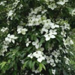 Cornus Empress of China flower