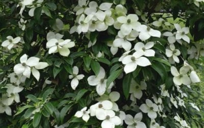 Cornus ang. 'Empress of China' ®