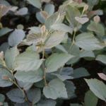 Fothergilla interm. 'Blue Shadow'