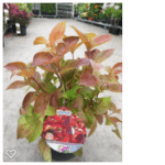 Weigela 'Wings of Fire' 30-40 c3