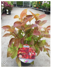 Weigela florida 'Wings of Fire' ®