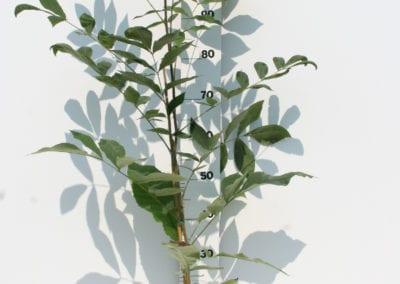 Carya illinoinensis 80-100 c3