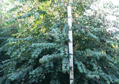 Cercidiphyllum japonicum 350-400 KL SOL
