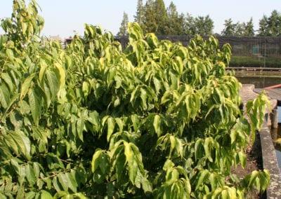 Chimonanthus praecox 150-175Kl Sol