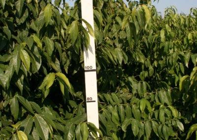 Chimonanthus praecox 175-200