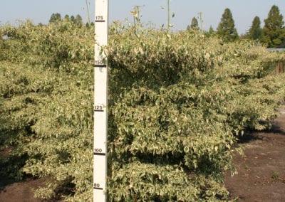 Cornus alternifolia 'Argentea' 175-200