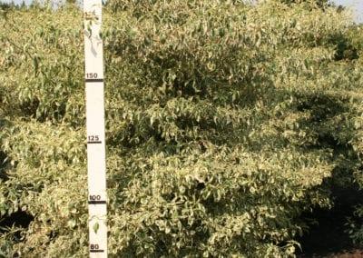 Cornus alternifolia 'Argentea' 200-225 Sol