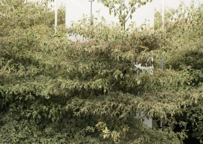 Cornus alternifolia 'Argentea' Sol 200-225
