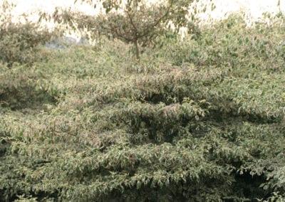 Cornus alternifolia 'Argentea' sol. 225