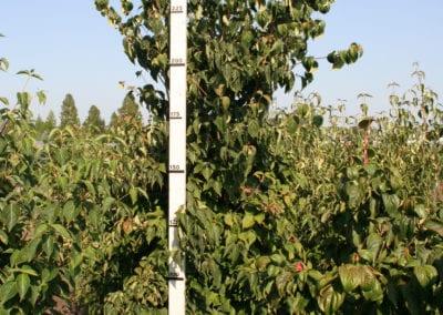 Cornus kousa chinensis 225-250 Sol