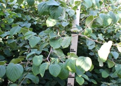Corylopsis spicata 200-250 KL SOL