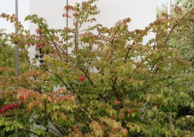Euonymus alatus 125-150