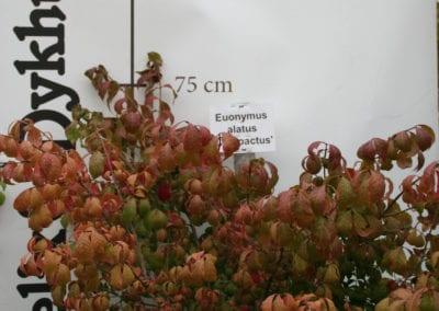 Euonymus alatus 'Compactus' 80-100 sol