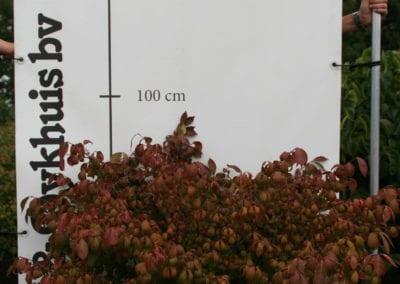 Euonymus alatus 'Compactus' sol. 80100