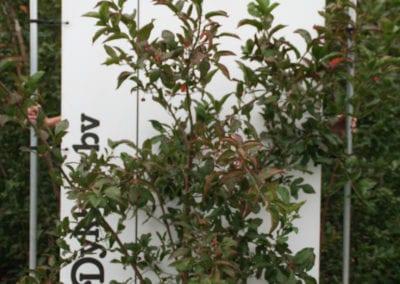 Euonymus europaeus 'Red Cascade' 175-200 struik
