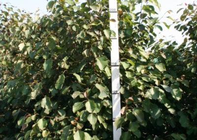Euptelea pleiosperma 200-250 STR