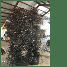 Fagus syl Purpurea Pendula 200-250,C90,SOL