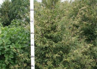 Fagus syl. 'Aspleniifolia' 300-350 Sol.
