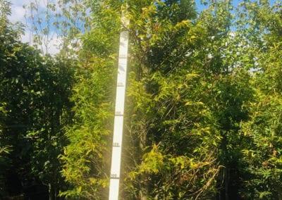 Fagus syl. 'Aspleniifolia' 300-350,C150,SOL